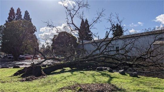 Fallen oak tree at 3 North St.