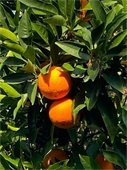 Oranges to be gleaned